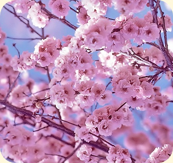 Japanese proverbs - cherry blossoms