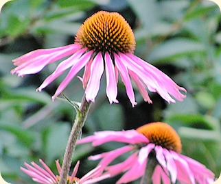 Echinacea detail from a photo by Andrew Butko.