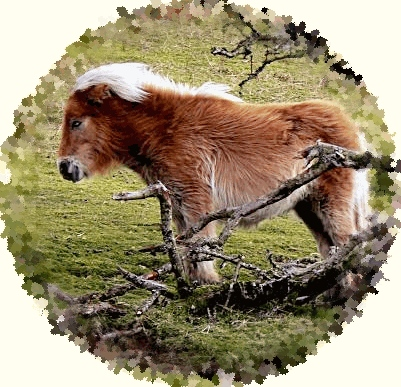 Dartmoor Pony.