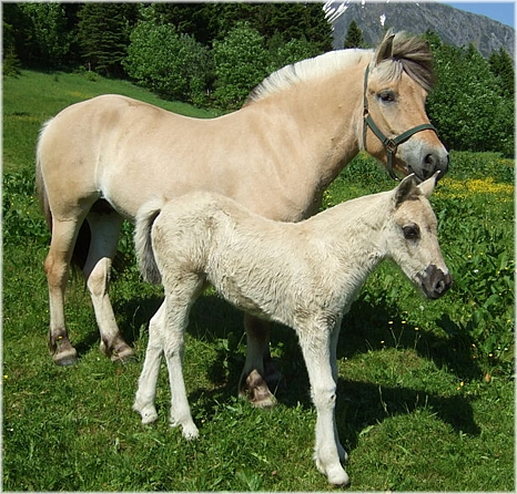 Fjord mare with foal