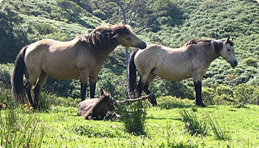 Connemara poneys, suggestive of Irish fairy tales and other folktales of Ireland