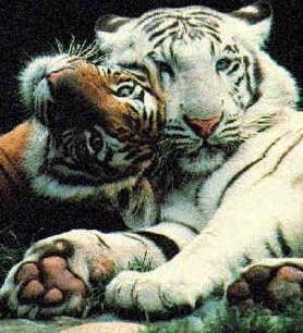 http://oaks.nvg.org/b/tigers.jpg