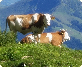 Cattle in Tyrol, Kitzbüheler Horn rises in the background. Modified section