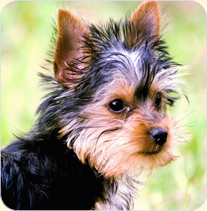 Yorkshire terrier, puppy
