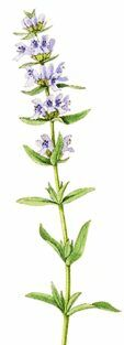 Hyssop in the Bible, illustration