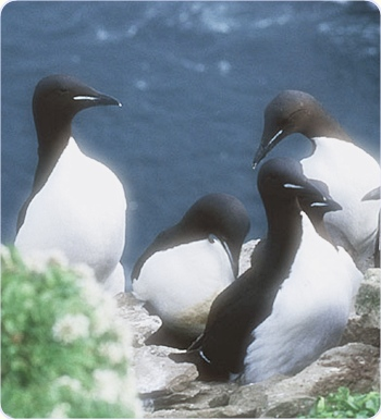 English: Uria lomvia, Brunnich´s Guillemot, at bird cliff of Stappen, southern Bear Island (Bjoernoeya), Barentsea, Svalbard, detalj frå foto av Michael Haferkamp, 2002. Modified detail