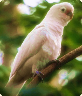 Lip Kee Yap's photo of a Cacatua goffiniana (modified section), fronting French Fun after Arabian Nights entertainment