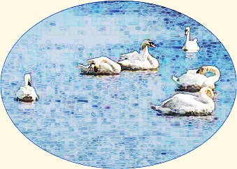 Mute swans, Richard Crossley, Wiki Commons, modified detail